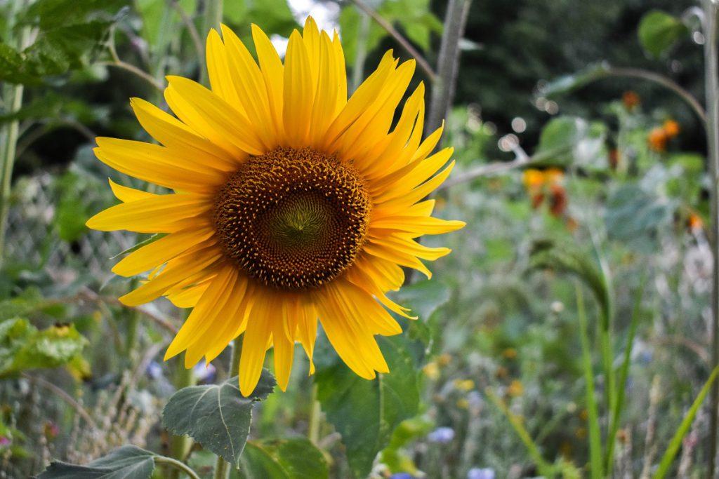 Sonnenblume bei Abnehmen und Meer