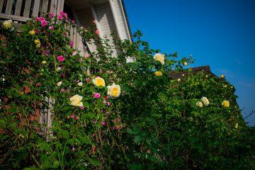 Rosen im Abnehmurlaub